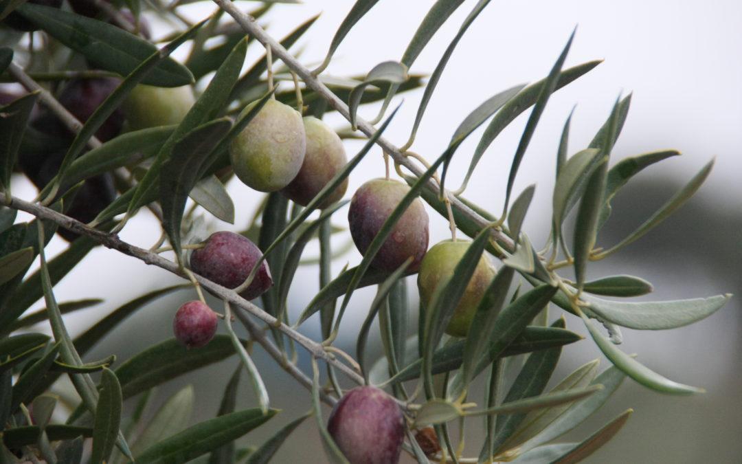 El lado oscuro: tolvas y aceite de oliva virgen extra